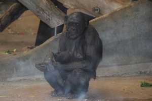 Both Bonobo and Chimpanzee DNA is closer to human than Gorilla.