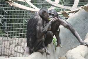 Bonobos greet each other often with hugs, kisses and touching.
