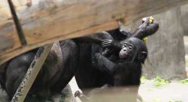 There are now 20 Bonobos at the Milwaukee County Zoo.