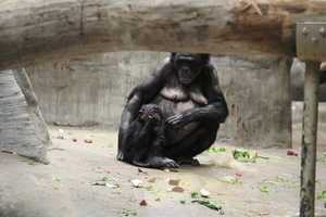 There are less than 200 Bonobos in captivity, making the group in Milwaukee extraordinary.