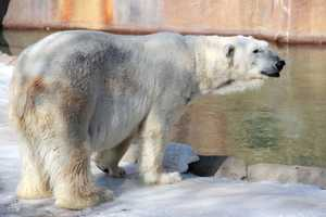 Since 2008, polar bears have been listed as a threatened species under the Endangered Species Act.