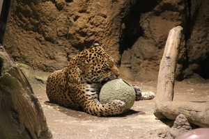 """Check out the zoo's """"wish list"""" on Amazon.com to purchase enrichment items. Click here for more info."""