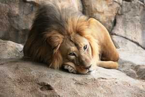 What is behind the lion's exhibit? Find out...(Rare moment with Themba's eyes open, he can sleep up to 20 hours a day!)