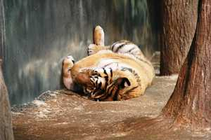Shhh, this tiger is sleeping. But when they are awake, the Siberian tigers (Amba, Nuri and Tula) each eat 7-8 pounds of meat daily.