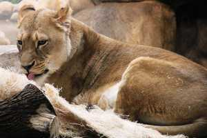 Sanora and eats about 3.5 pounds of meat per day. Her male counterpart, Themba, eats 8 pounds of meat per day.