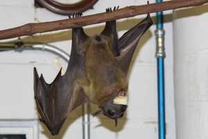 Straw-colored fruit bat