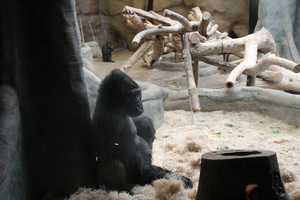 Two other females share the exhibit with the family and two other bachelor males also rotate through the exhibit.