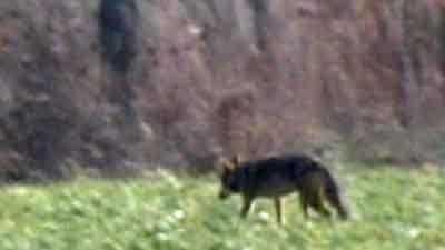 Coyote generic