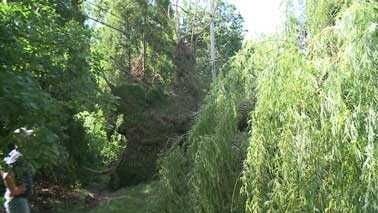 huge willow