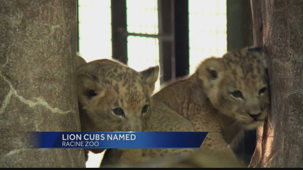 Lion cubs named at Racine Zoo