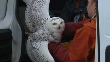 A 3-year-old snowy owl was released back into the wild Wednesday afternoon after spending a few weeks at the Wisconsin Humane Society's rehabilitation center.