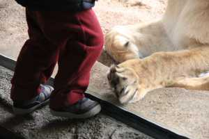 """Both are described by keepers as """"young, spunky lionesses, but they are very good girls, and are able to practice simple behaviors like target training."""""""