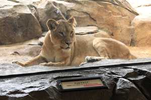 Lions can be found in grasslands and open savannas.