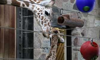 Mom, Marlee, is 4 years old and came to the Milwaukee County Zoo in 2013 from Zoo Miami.