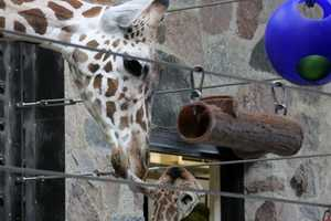 The giraffes favorite treats are Maple leaves, bananas and rye crackers.