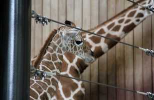 The wild giraffe population is less than 80,000 but are not currently currently threatened with extinction.