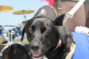 Arrrrr, check out this pirate pooch.