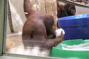 On this day the orangutans had bubbles to play with as part of their enrichment. They really seemed to like the bubbles.