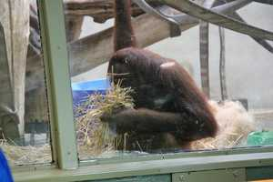 Orangutans in the wild spend a lot of their time in the forest canopy, while other apes spend more time on the ground.
