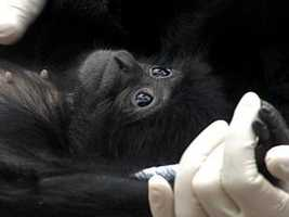 The Louisville Zoo showed off three baby Siamang apes Thursday