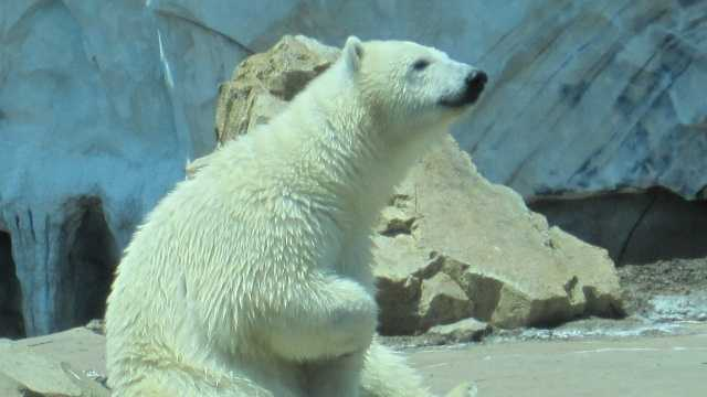 The wild-born polar bear made national headlines when was found alone on Alaska's North Slope and arrived in Louisville in the wee hours of the morning on June 28 aboard a UPS jet from Alaska. When she arrived a year ago, she weighed 60 lbs and today she weighs 290.