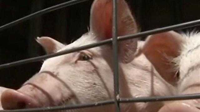 Procedures announced concerning swine flu at Ky. State Fair