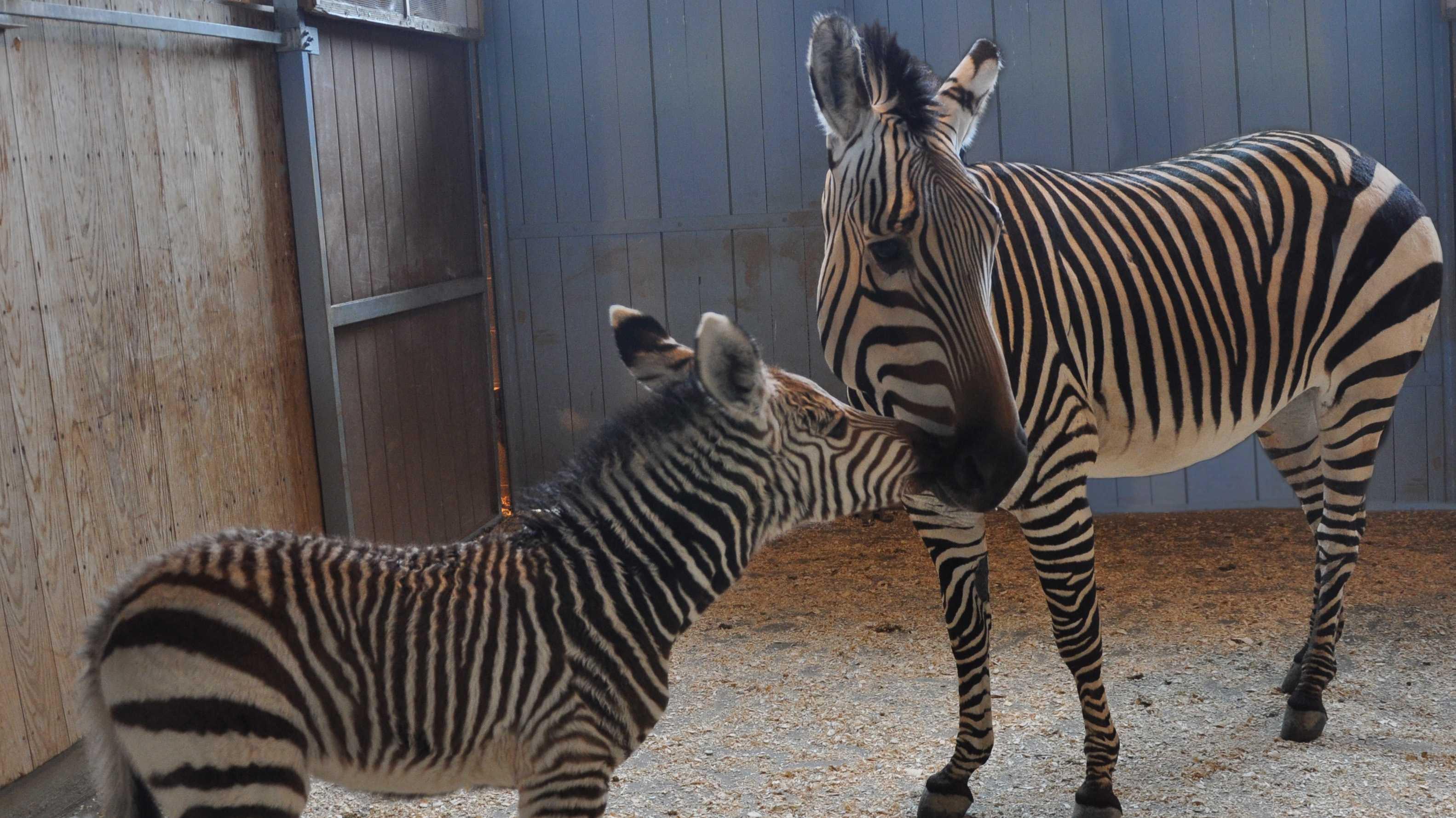 Zebra_new.jpg