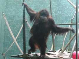 The Louisville Zoo is one of only 13 in the entire world to participate in Apps for Apes.