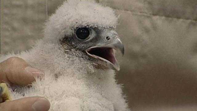 Baby falcons watched by thousands prepare to leave nest