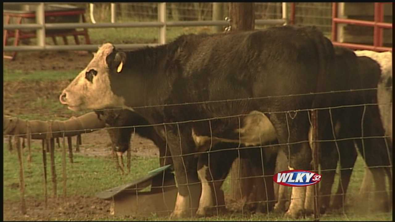 A Shelby County mystery has been solved. Test results show what kind of animal has been viciously attacking livestock in Waddy.