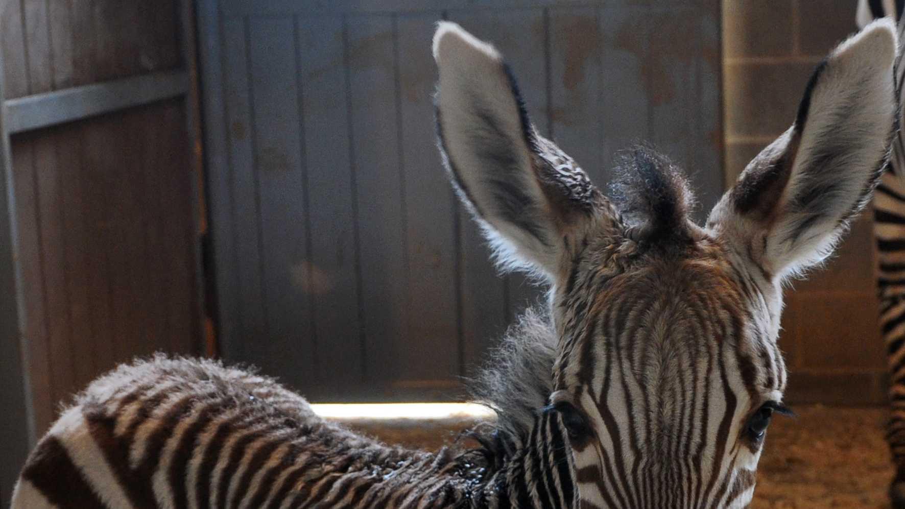 A female zebra foal born at 2:45 a.m. on Jan. 18, 2013. (READ MORE)