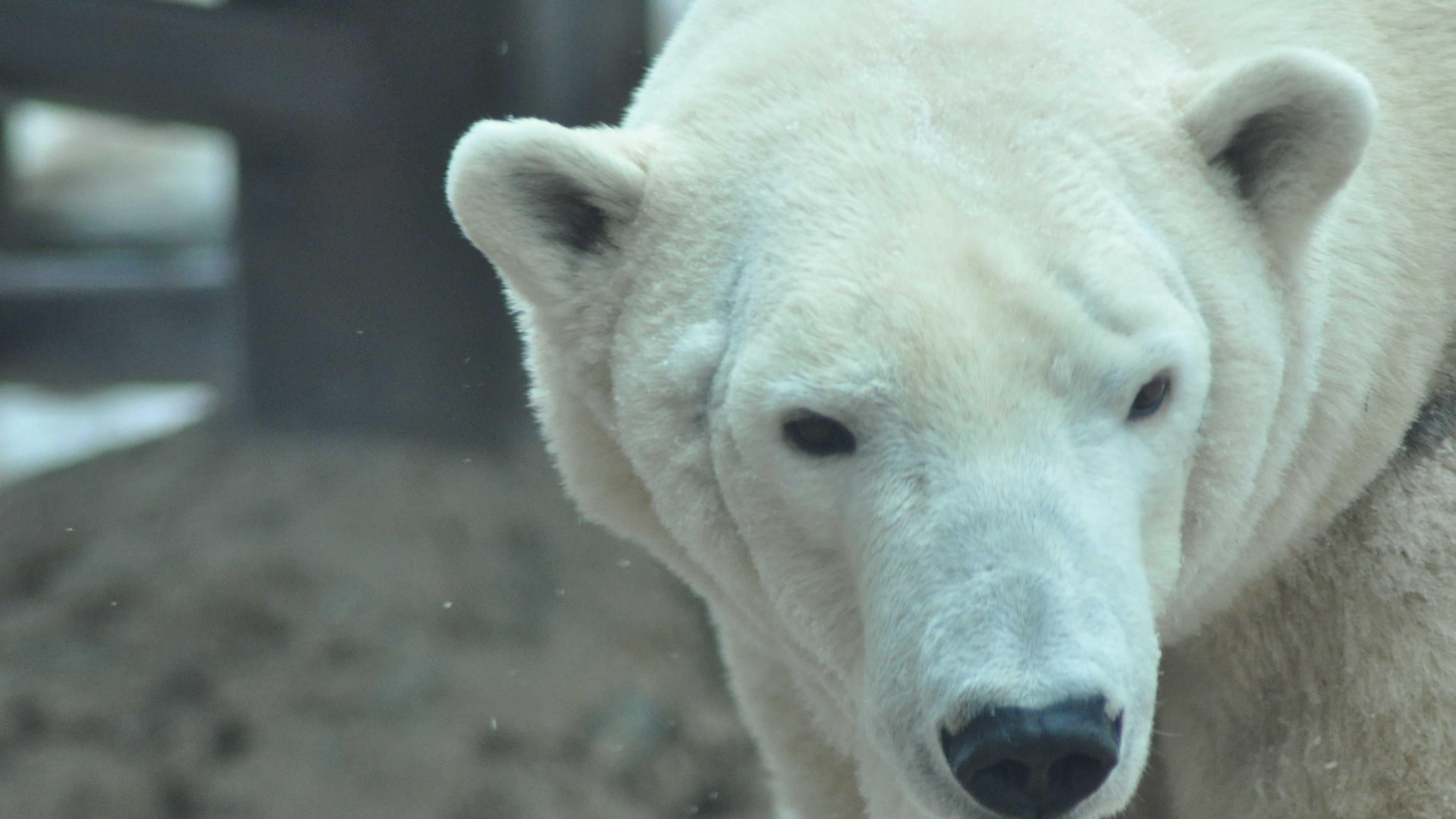 arki louisville zoo polar bear (3).JPG