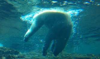 Check out the polar bears and lions at the Louisville Zoo: There's nothing quite like the zoo to make you feel like a kid again. Click here to watch the lions roar!