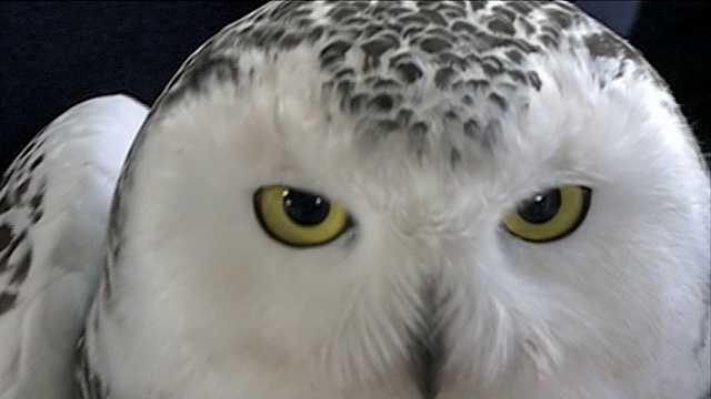 Snowy owl rescued in Eastern Jefferson County