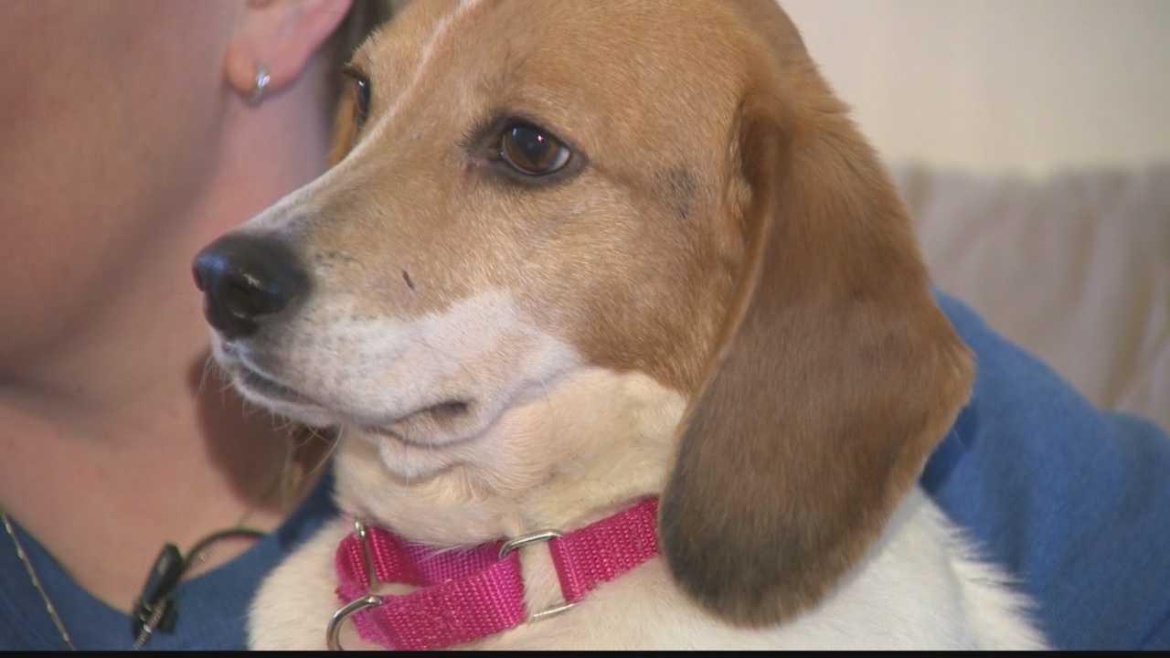 Sassy the beagle