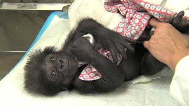 Humans to be Cincinnati Zoo gorilla baby's mother for now