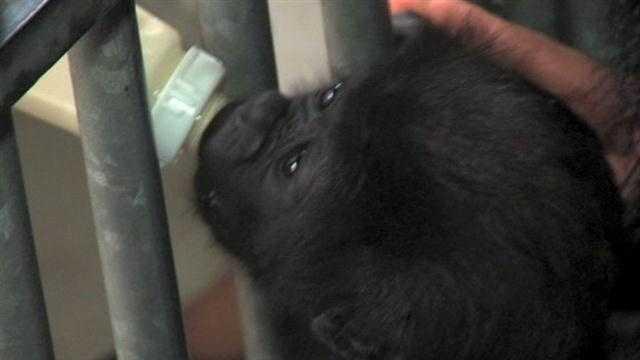 Raw Video: Baby gorilla adjusting to Cincinnati Zoo