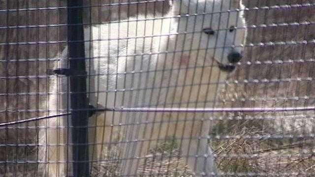 Wolves, other animals at home at Ind. animal sanctuary