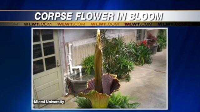 Corpse flower in bloom.jpg