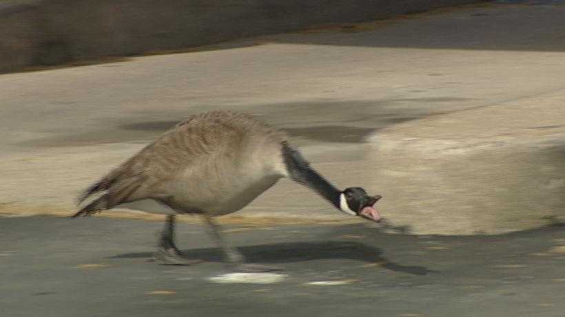 Geese at bank (2).jpg
