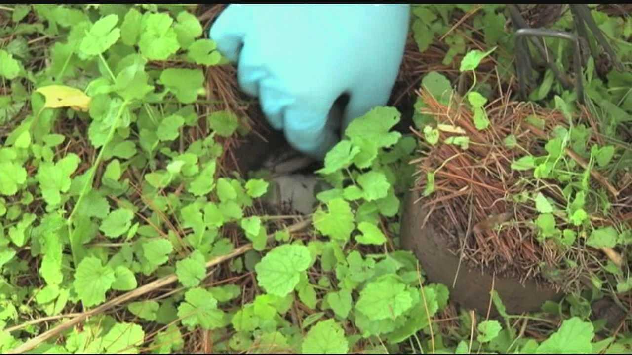 Carcass-burying beetles reintroduced to area