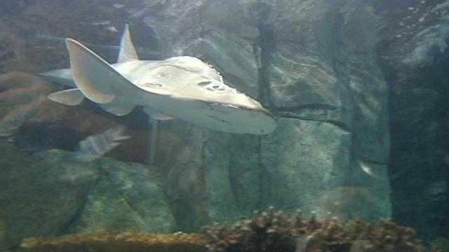 New Shark Ray arrives at Newport Aquarium
