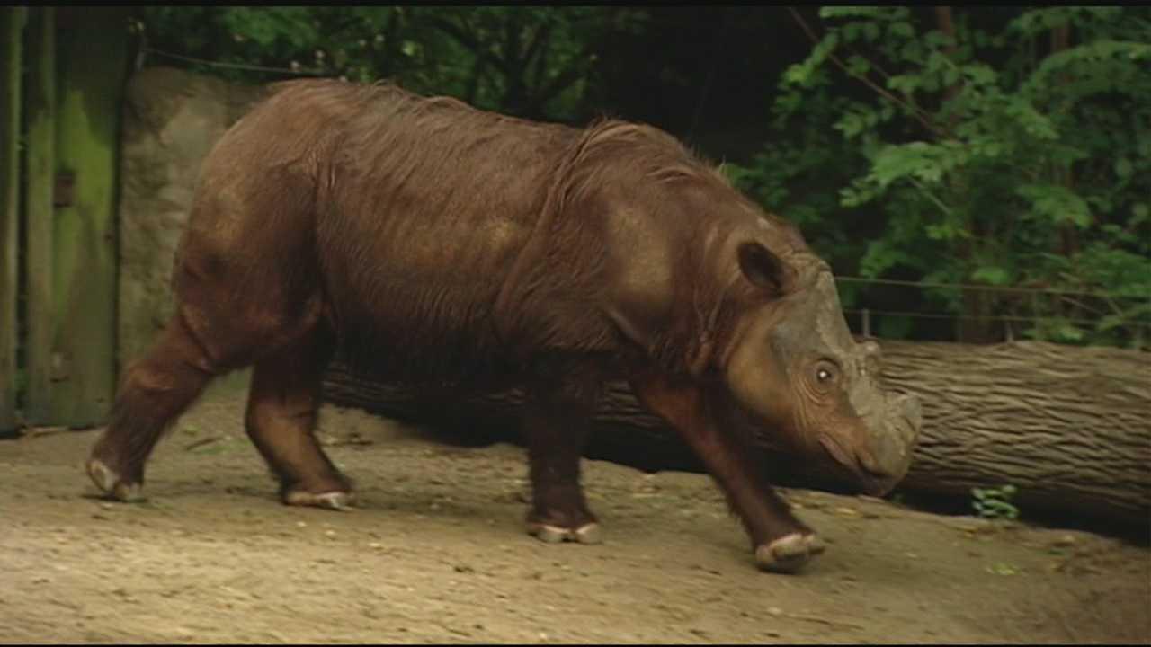 img-Cincinnati Zoo to try to breed sibling rhinos in effort to save species