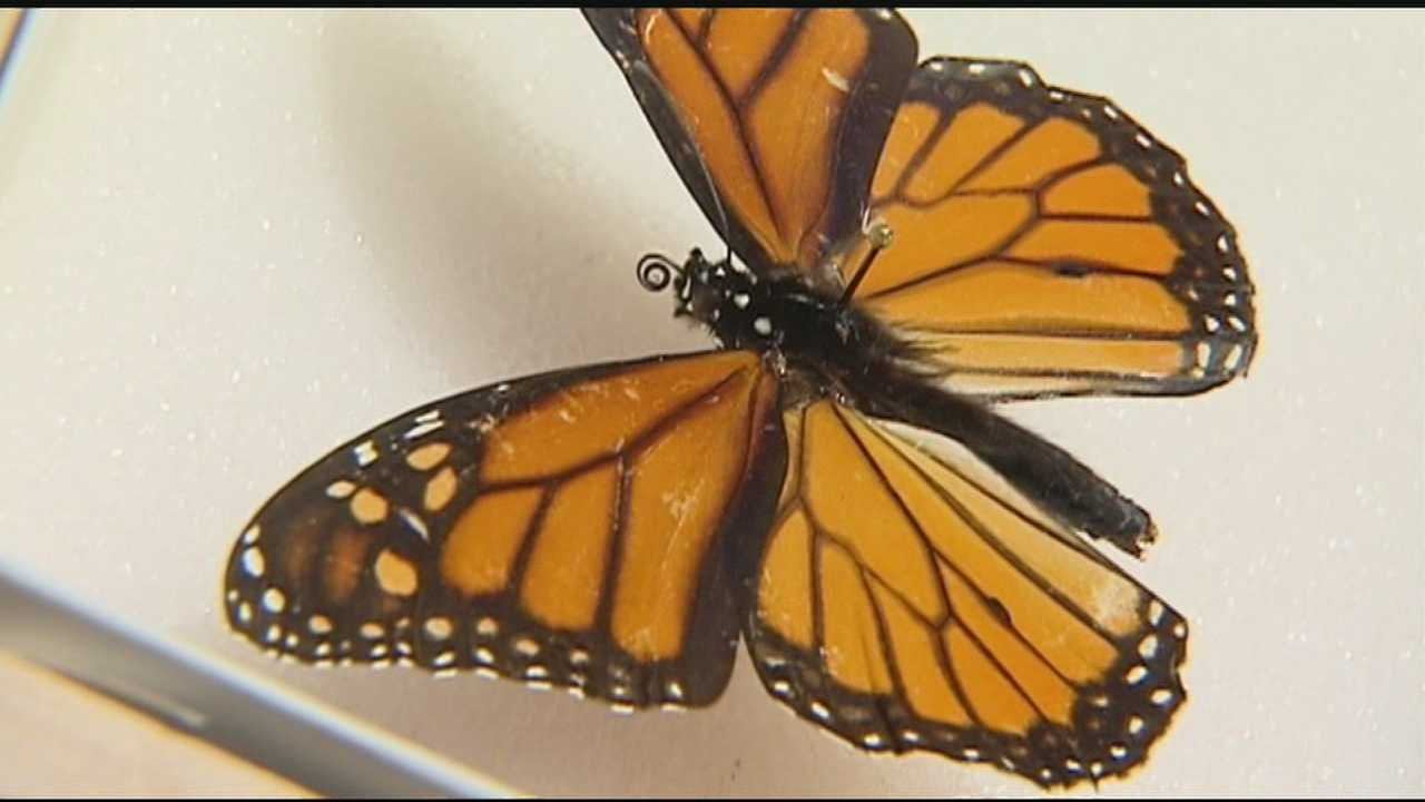 Lack of milkweed plant may be factor in missing monarch butterflies