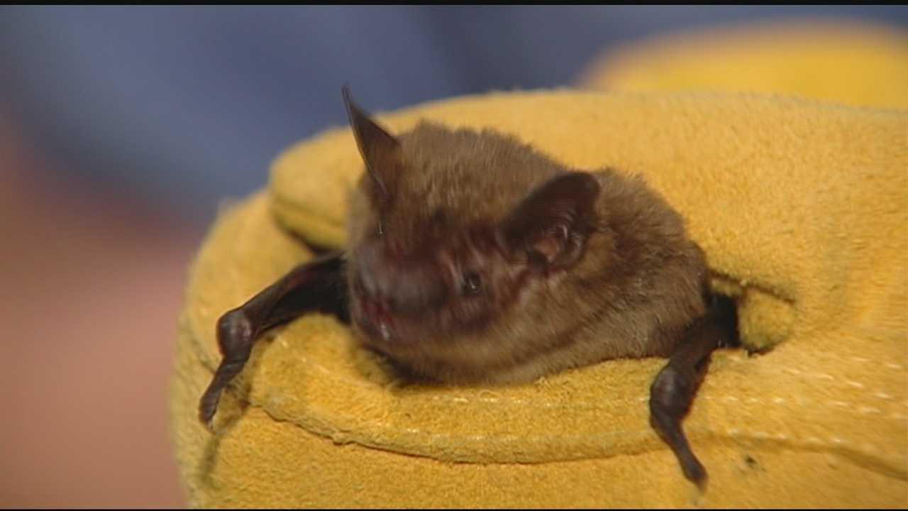 NKY health dept. seeing more bats, rabies scares
