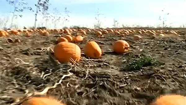 pumpkin-patch-generic-image-jpg.jpg