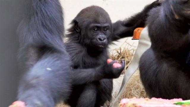Zoo's youngest gorilla turns 1