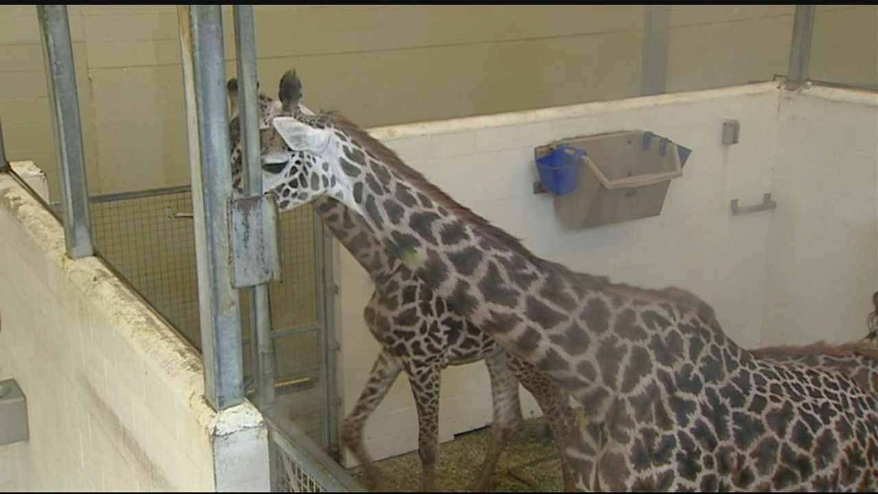Cincinnati Zoo giraffe Tessa is pregnant again