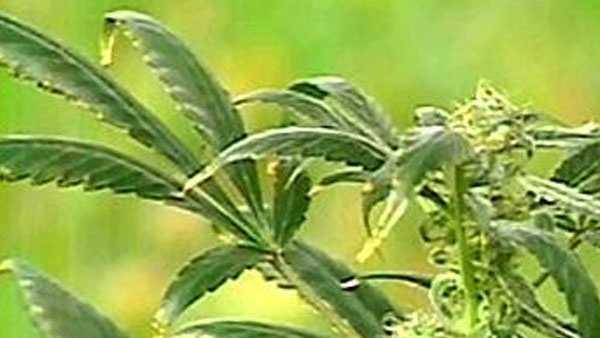 generic cannabis