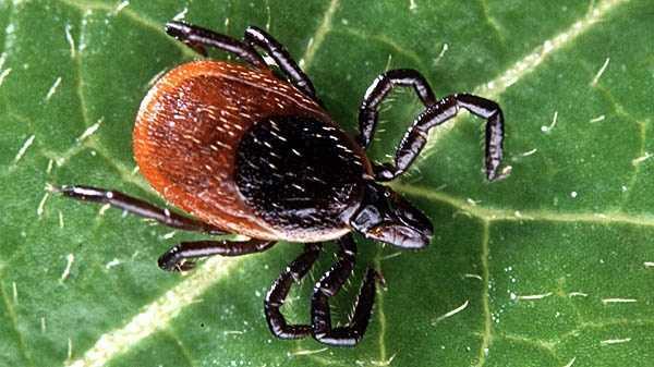 Black-legged ticks.jpg